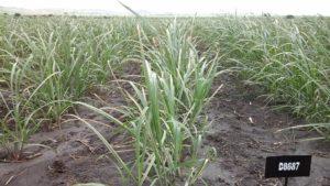 sugarcane-nsdc2