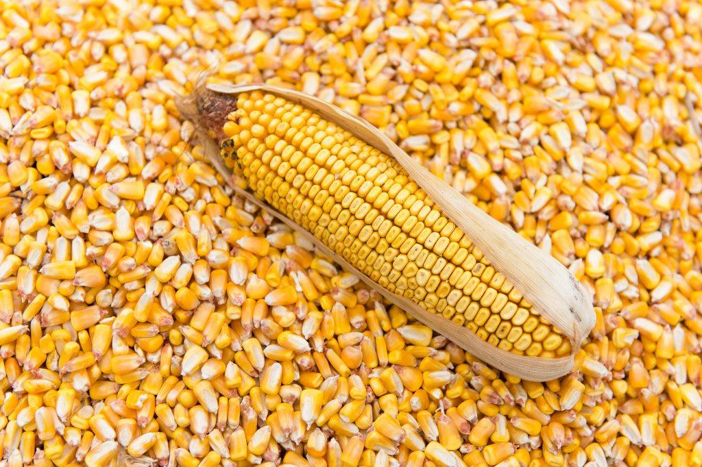 maize importation