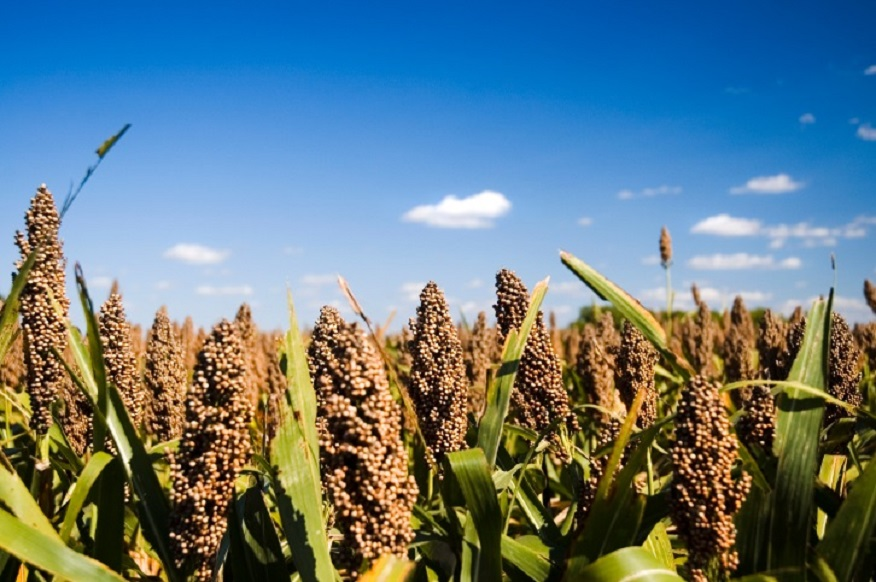 price of sorghum