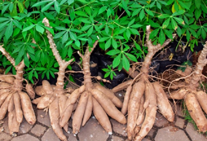Improved Cassava Varieties