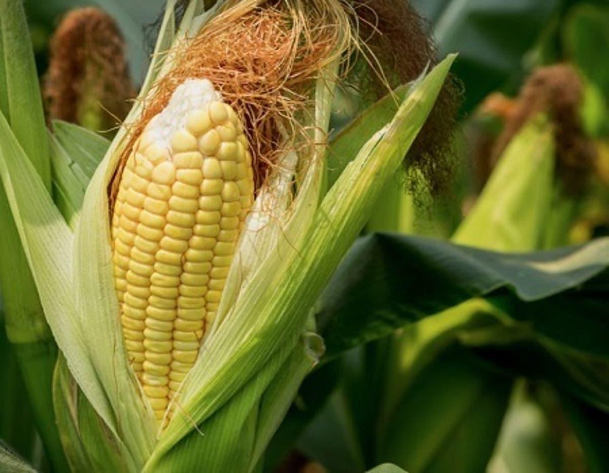 Tela maize Genetically Modified Maize